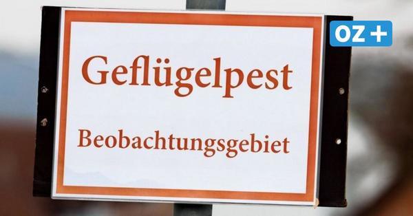 Neuer Geflügelpest-Ausbruch: 20000 Puten in Grammendorf werden getötet