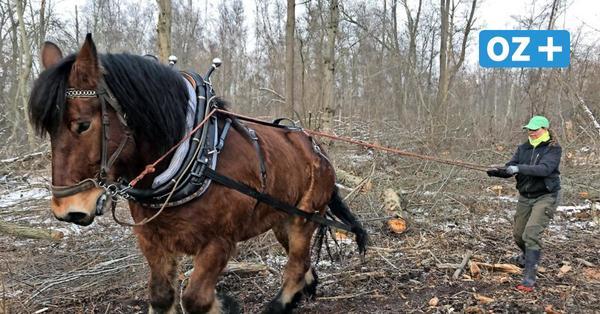 Holzrücken in Wäldern bei Wismar: Reittherapeutin sattelt auf alte Tradition um