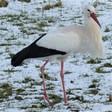 Früher Storch trotzt dem Dauerfrost