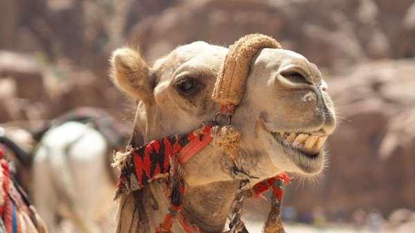 Hullo happy camel!