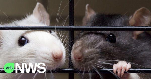 """Un 3ème dératiseur à Dixmude : """"Les rats prolifèrent"""". - Er komt een derde rattenvanger bij in Diksmuide: """"De ratten zijn aan een opmars bezig"""""""