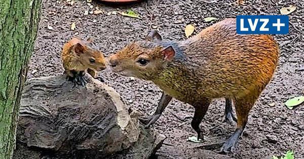 Zoo Leipzig: Zuchterfolg bei Zwergplumploris und Schwarzrücken-Agutis