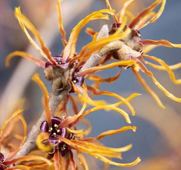 Die Zaubernuss bildet strahlende Blüten im noch kargen Garten aus. Foto: Andrea Warnecke/dpa