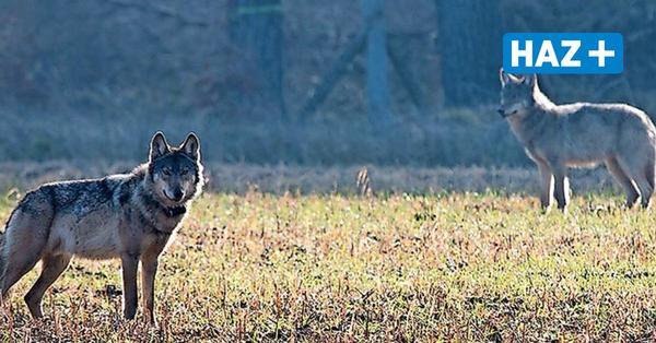 Nach Dutzenden Rissen von Nutztieren: Ist die Jagd auf Wölfe des Burgdorfer Rudels eröffnet?