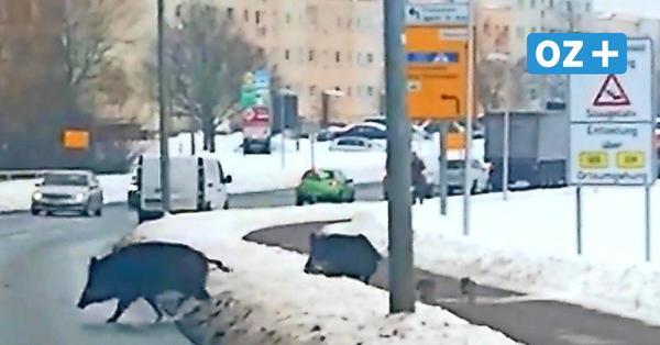 """Videos zeigen Wildschweine mitten in Greifswald: """"Muss erst etwas passieren?"""""""
