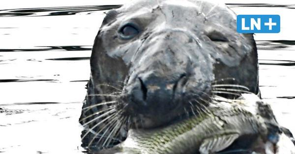 Rätsel um Robbe in der Trave: Gibt es zwei Tiere?
