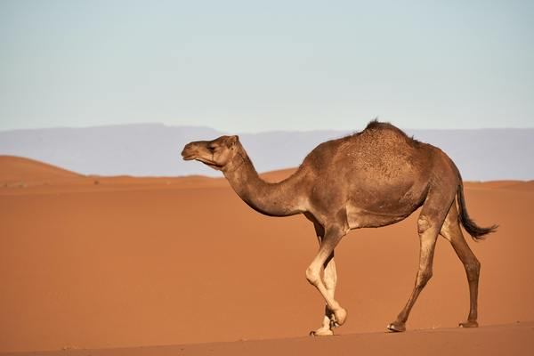 Man arrested for stealing camel for gift to girlfriend