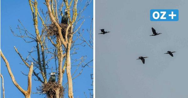 Die ersten Kormorane beziehen ihre Nester in Niederhof