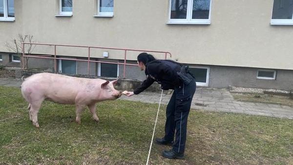 Polizei-Einsatz: Schwein flieht vor dem Schlachter