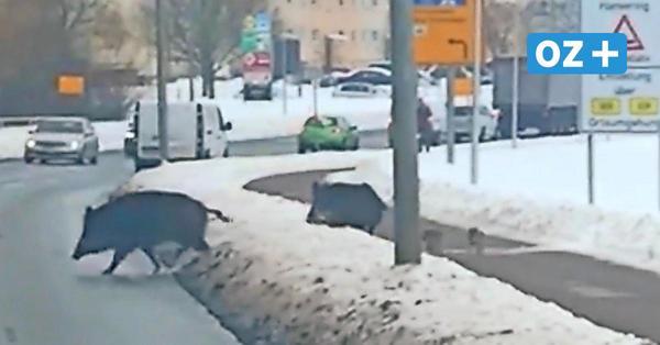 Wildschwein-Plage in Greifswald: Das sind die ersten Ergebnisse der Störaktion