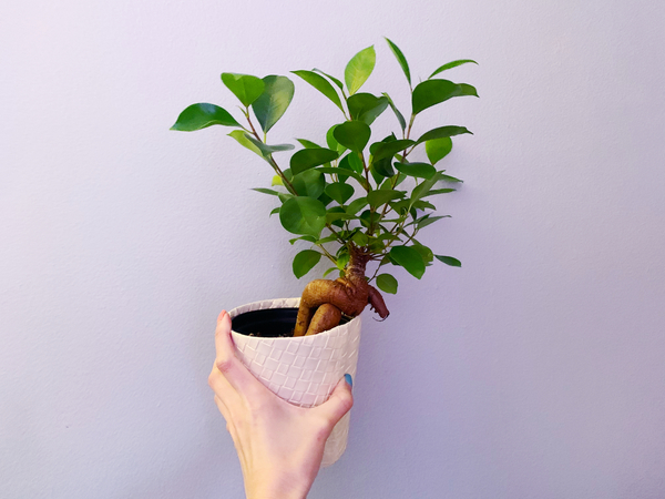 Crossed another wishlist plant off my list! The very sassy ficus ginseng.