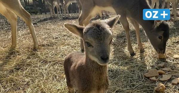 Wiedereröffnung im Tierpark Wismar: Freude über Mufflonbaby