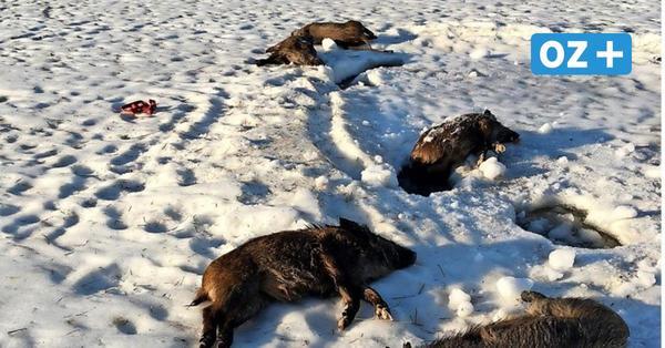 Tote Wildschweine im Eis bei Wismar entdeckt: War es die Schweinepest?