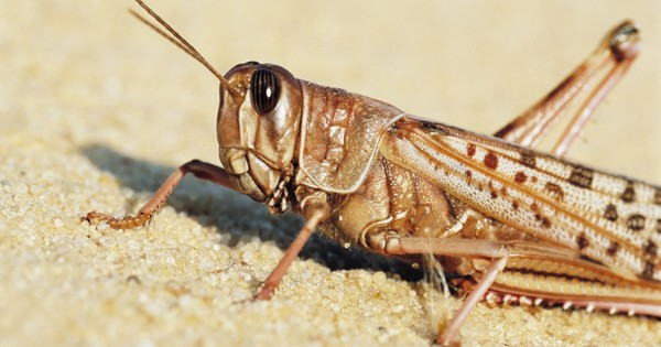 "Biohybrid robot wired to ""hear"" using locust's ear"