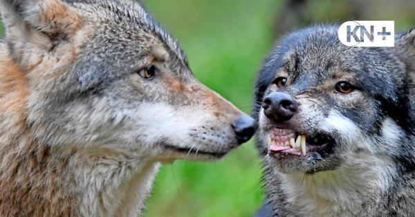 Wildpark Eekholt: Wolfsbrüder greifen sich an – ein Tier totgebissen