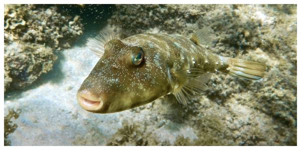 Pesky Puffer - Reef stalker!