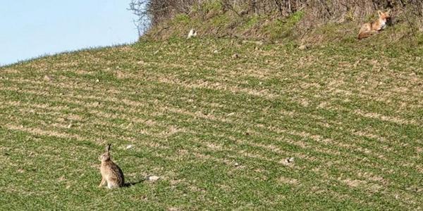 Besonderes Leserfoto: Fuchs und Hase genießen Frühlingssonne auf Rügen
