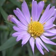 Why Is This Flower on Wikipedia Suddenly Getting 90 Million Hits Per Day?
