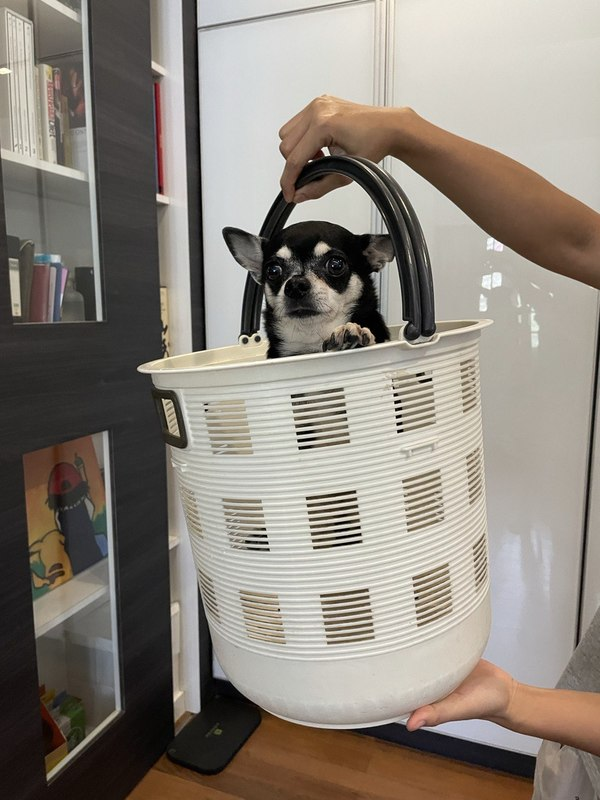 Awkward Chihuahua Momeny! Contrary to belief - this fella hopped into the basket himself, and refused to get out when we wanted him to (we got growled at!) Anyone want to buy? Basket comes free :P