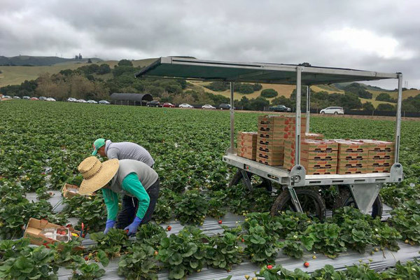 StrawBot follows harvesters to improve strawberry picking productivity