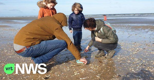 Un nombre surprenant de Tellines Baltiques ont été compté le jour de la Fête des mollusques - Opvallend veel nonnetjes op Schelpenteldag