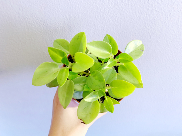 Picked up a cute Peperomia pixie the other day.