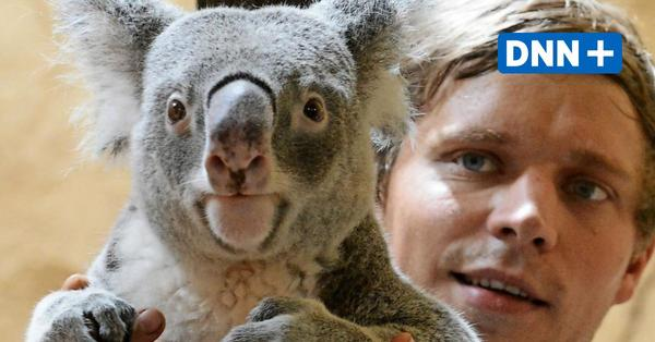 Koala Iraga im Dresdner Zoo ist tot
