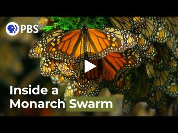 Ένας δρόνος «μεταμφιεσμένος» σε πουλί ανάμεσα σε πεταλούδες μονάρχης