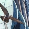 Wanderfalken in Kiel am Rathausturm: Ein neues Weibchen aus Schwerin
