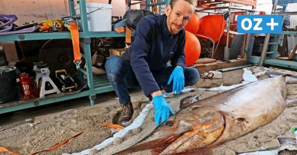 Schwertfisch für die Ewigkeit: So entstehen Präparate für das Stralsunder Meeresmuseum