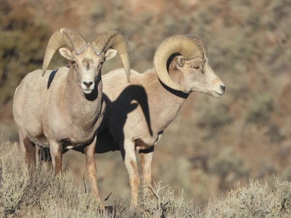 Rocky Mountain Big Horn Sheep Takes Out a Drone