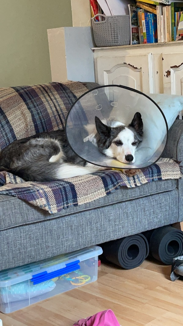 Riggs lying on the couch with a cone on his head.