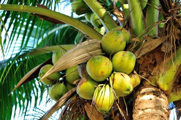 In Thailand muss man nicht lange suchen, um Kokosnüsse zu finden