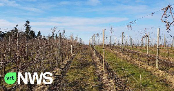 La fabrication de vin en Flandre se développe - Wijn maken in Vlaanderen populair