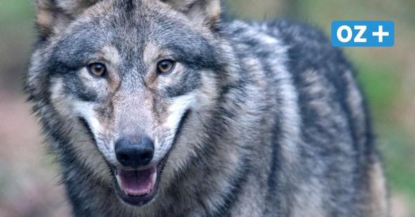 Ist der Wolf nun auch in Grimmen unterwegs? Mann sichtet Tier