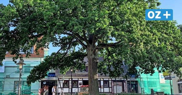 Naturdenkmal auf Rügen bekommt Nachwuchs: Hier werden neue Bäume gepflanzt
