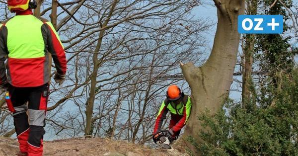 Rügen: Darum werden 90 Bäume an Selliner Steilküste gefällt.
