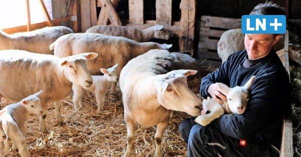 Riepsdorf: Warum Landwirt Phil Marschall begeisterter Schafzüchter ist