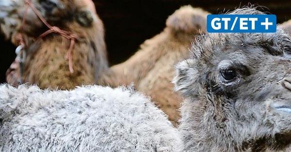 Tierischer Nachwuchs in Hardegsen: Geben Sie diesem Kamel einen Namen