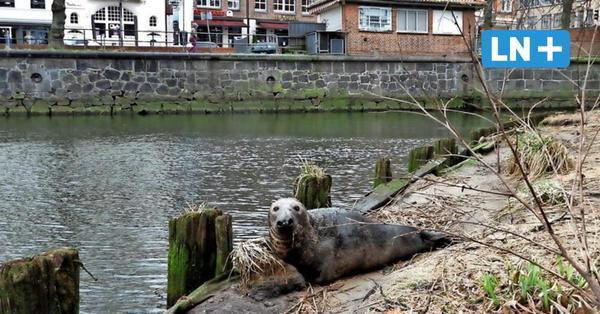 Robbe entspannt sich wieder an Lübecks Untertrave