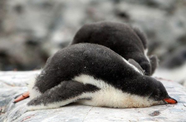 This baby penguin and I are on the same wavelength right now. Just zzzz.
