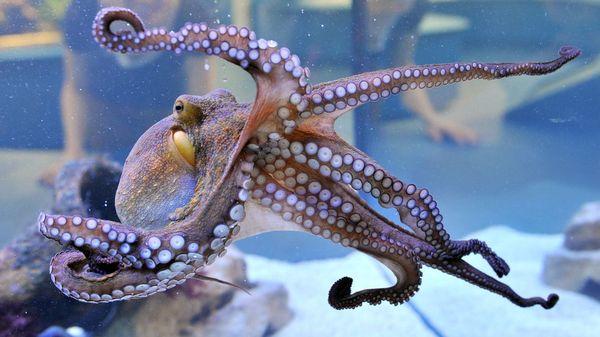 Können Oktopusse träumen? Forscher machen erstaunliche Entdeckung