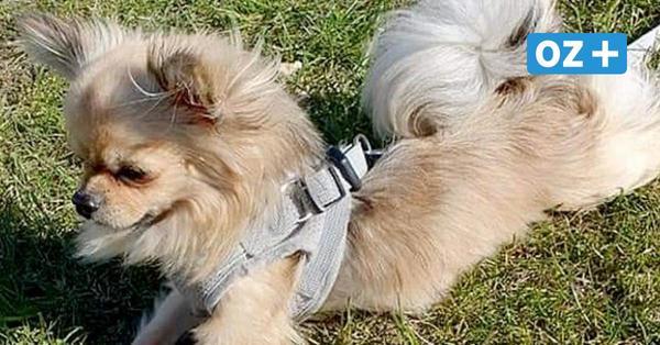 Hund Teddy ist in Stralsund verschwunden und Diebstahl ist nicht auszuschließen
