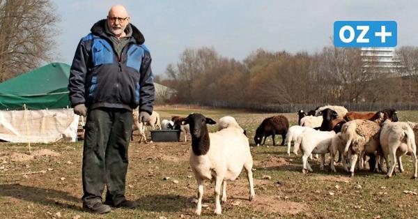Stralsunder Schafhalter ist sicher: Hinter dem Hansedom wandert ein Wolf