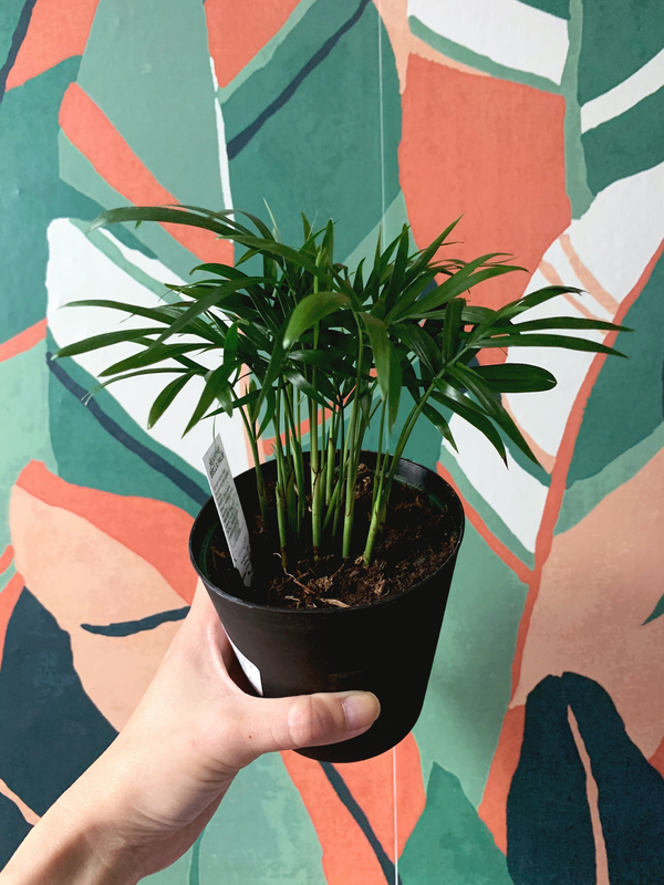 Neanthe Bella Palm, or parlor palm, is the newest addition. I have a larger one already but I wanted to start small again.