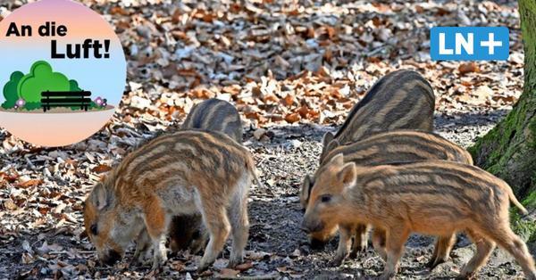 Wildpark Malente: Frischlinge locken Besucher an