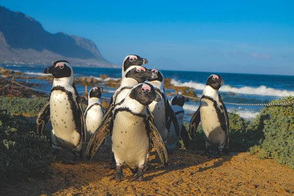 A group of Penguins on land is a Waddle. A group of penguins in water = a Raft!