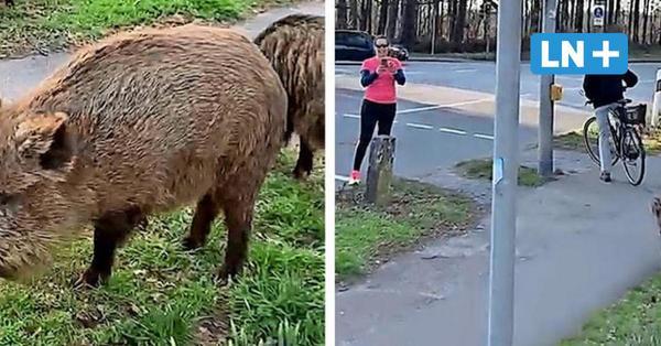 Lübeck: Zahme Wildschweine laufen an der Ratzeburger Landstraße herum