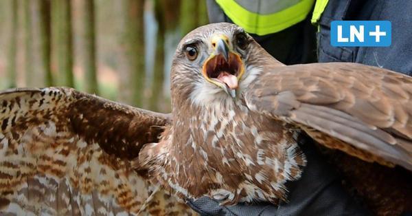 Feuerwehr Barsbüttel rettet Greifvogel, der sich im Baum verfangen hat