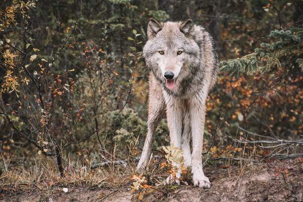 On The Wolf Trail